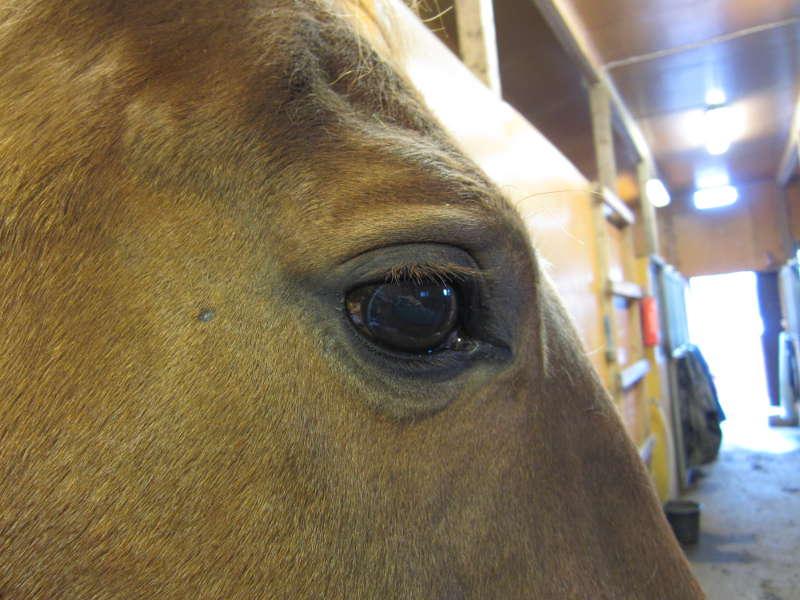 Hevosen normaali lämpö