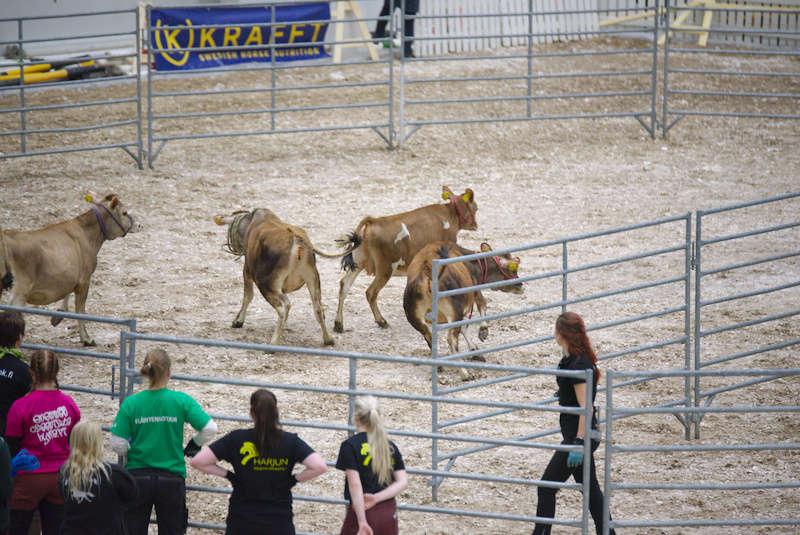 Iloiset-lehmät-Horse-Fair